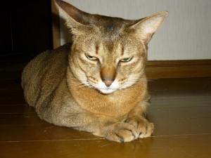 アビシニアン♀ ララです。 暑くても睡眠不足にならないでニャ