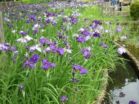 こんなにたくさんの花が、きれいに並んで咲いています。