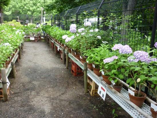 鉢植えのアジサイが展示されていました。