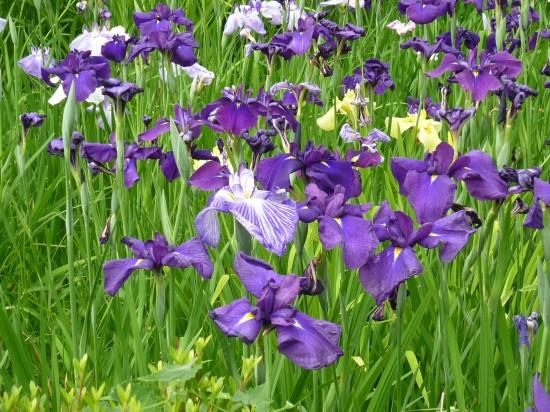 アジサイとはまた違った紫ですね