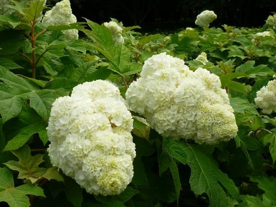 この種類は白い綿菓子みたいで大人の顔くらいの大きさです。