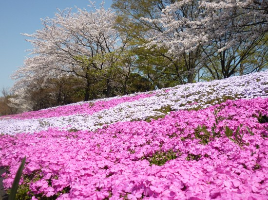 傾斜の上の桜と比べ、かなり濃いピンクです。