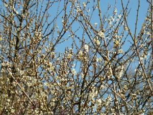白い梅は・・・もう少し待たないと・・・って感じです