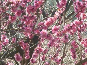ピンク色の梅は結構咲いていました