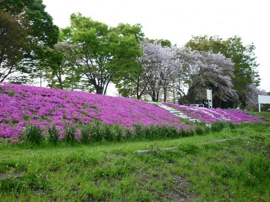 芝桜 001